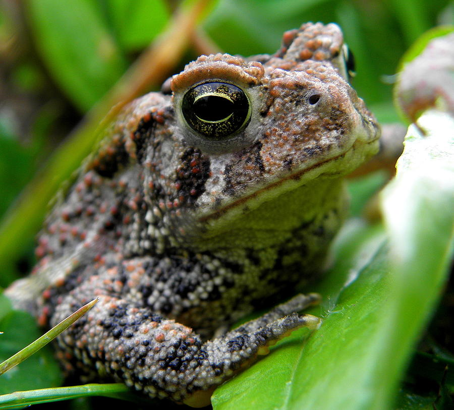 Toad Photograph - American Toad by Griffin Harris