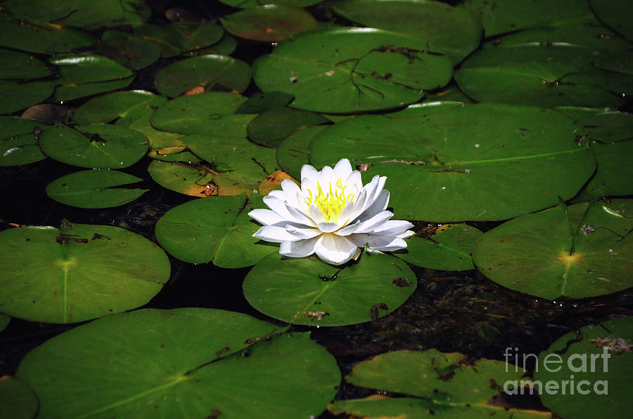 Lily Photograph - American White Waterlily by Ronald Grogan