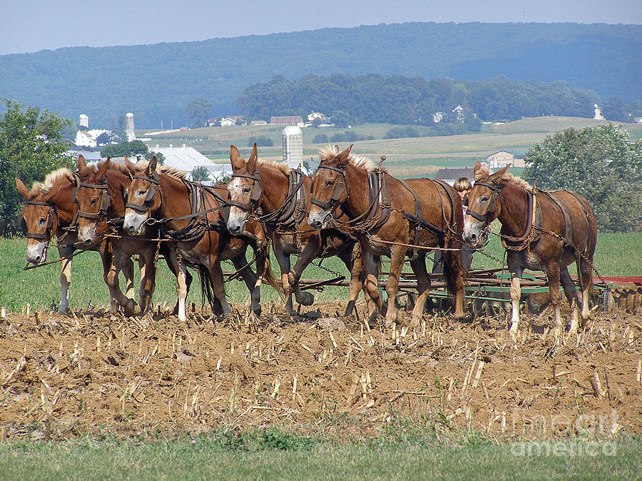 Mules Photograph - Amish Working Team  by Louise Peardon