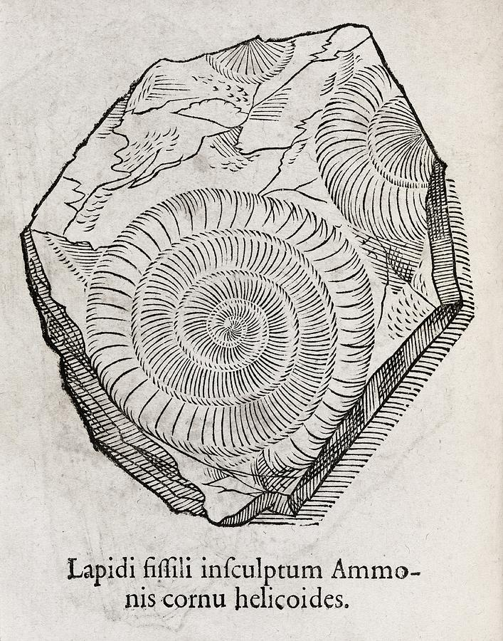 Ammonite Photograph - Ammonite Fossil, 16th Century by Middle Temple Library