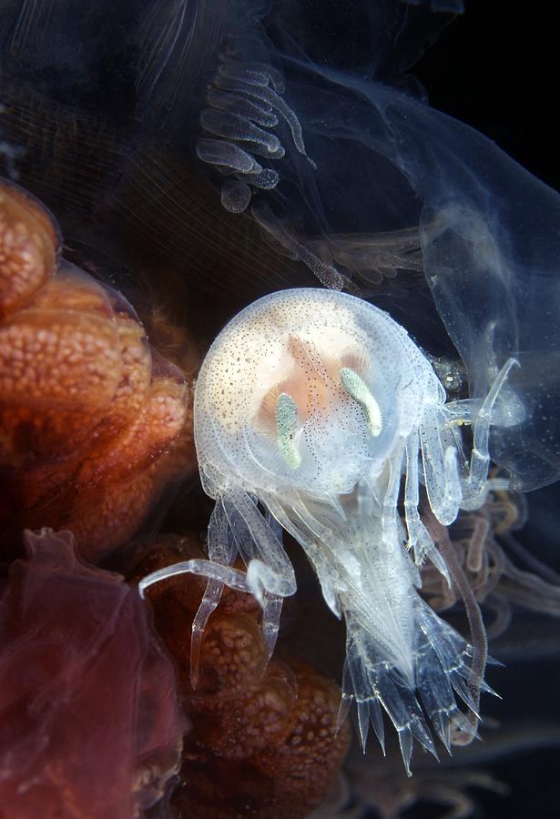 Amphipod Photograph - Amphipod Inside A Lions Mane Jellyfish by Alexander Semenov