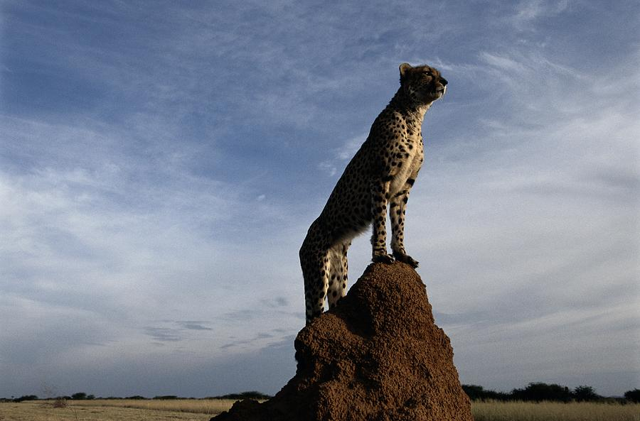 Outdoors Photograph - An African Cheetah Guards Its Territory by Chris Johns