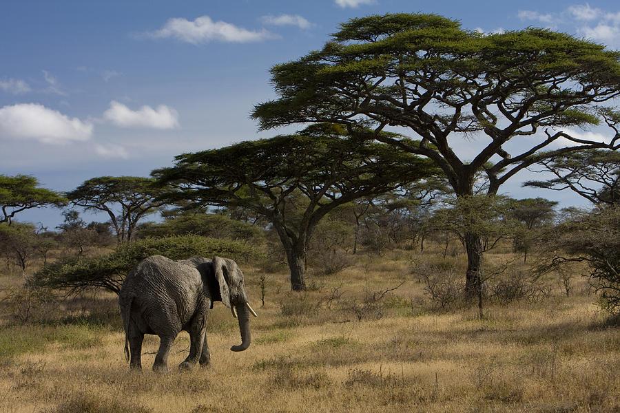 No People Photograph - An African Elephant Walks Among Acacia by Ralph Lee Hopkins