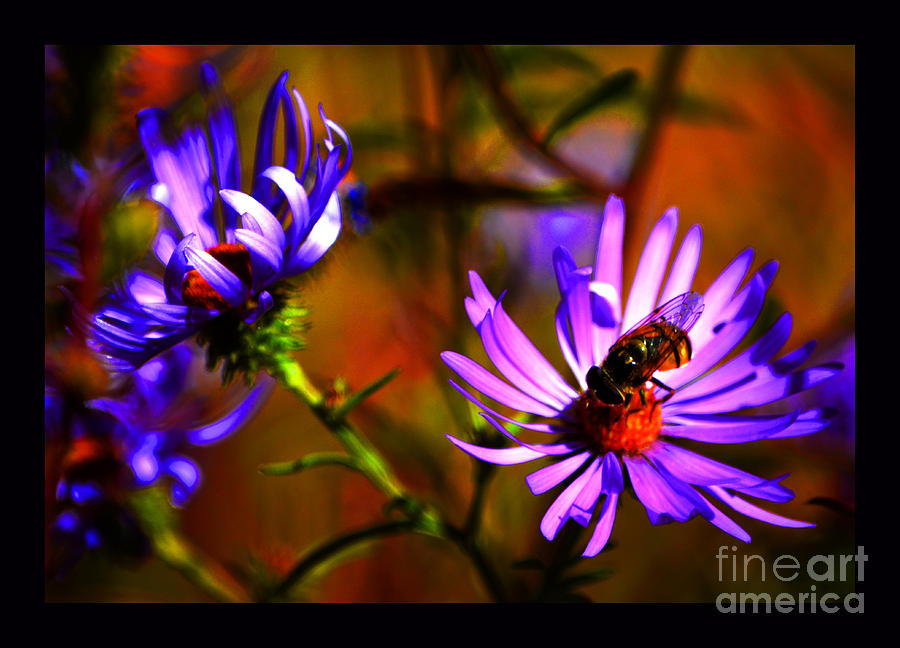 Purple Photograph - An Afternoon Bee In The Asters by Susanne Still