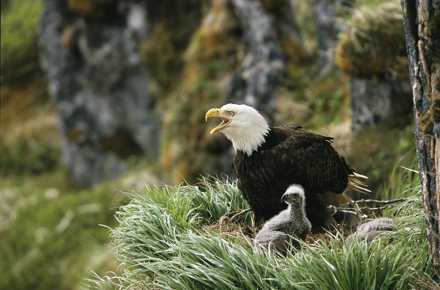 Animals Photograph - An American Bald Eagle And Young by Klaus Nigge