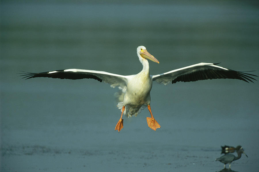 Geography Photograph - An American White Pelican In Flight by Klaus Nigge