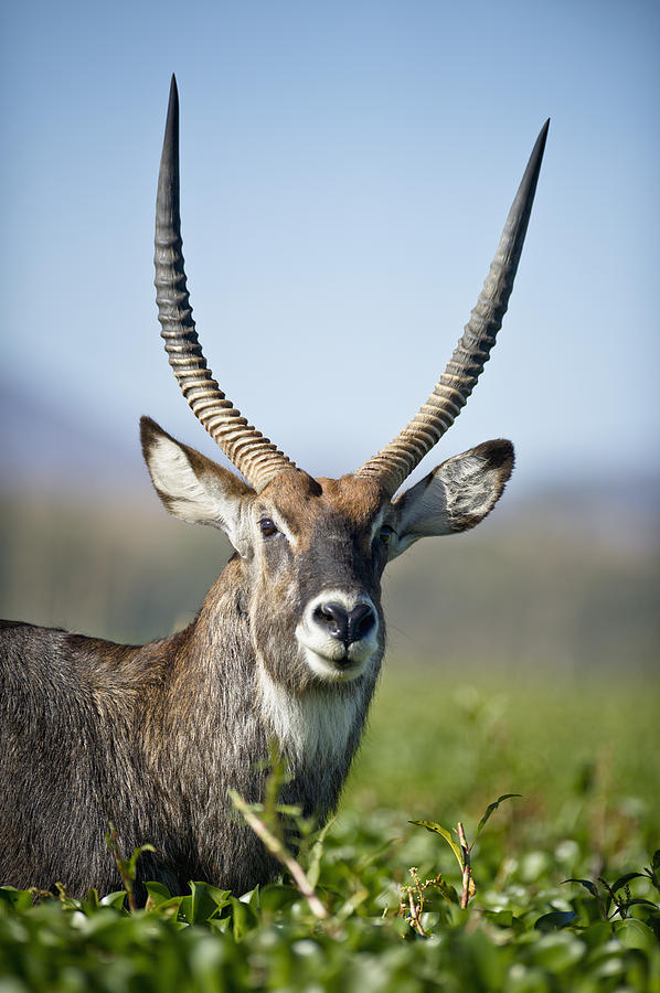 African Wildlife Photograph - An Antelope Standing Amongst Tall by David DuChemin