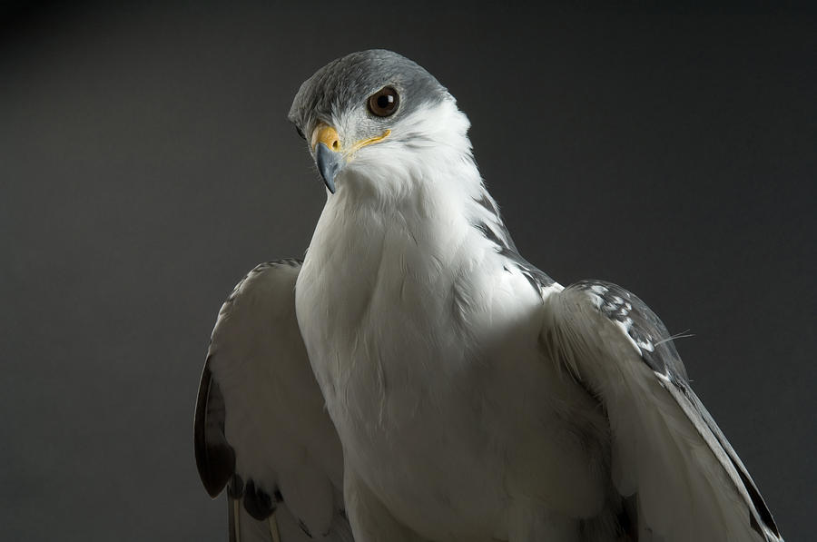Denver Photograph - An Auger Buzard Buteo Auger At Denver by Joel Sartore