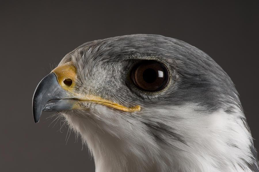 Denver Photograph - An Auger Buzzard Buteo Auger At Denver by Joel Sartore