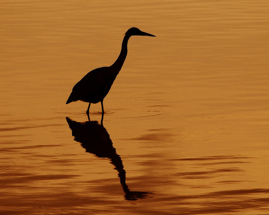 Great Blue Heron Photograph - An Early Morning Dip by Tony Beck