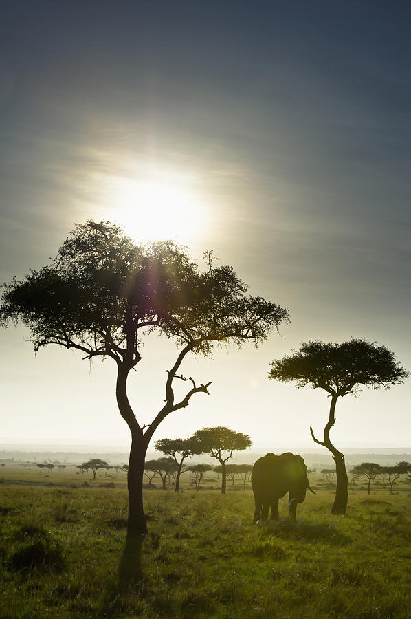 African Photograph - An Elephant Walks Among The Trees Kenya by David DuChemin