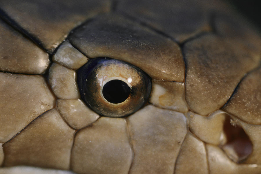 An Eye To Eye View Of A King Cobra It Photograph By
