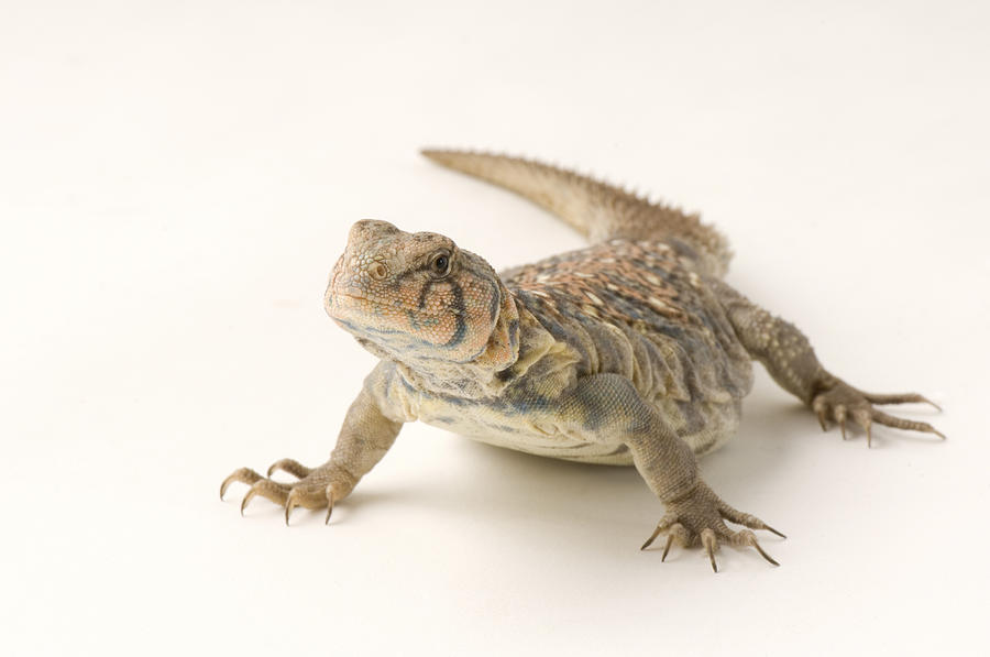 Zoo Photograph - An Ocellated Uromastyx Lizard Uromastyx by Joel Sartore