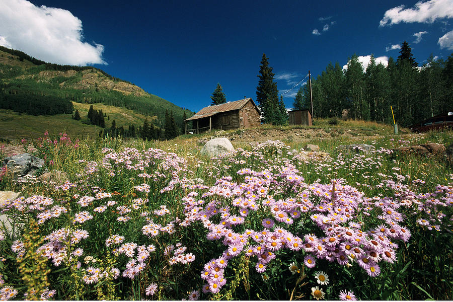 North America Photograph - An Old Miners Cabin With Purple Asters by Richard Nowitz