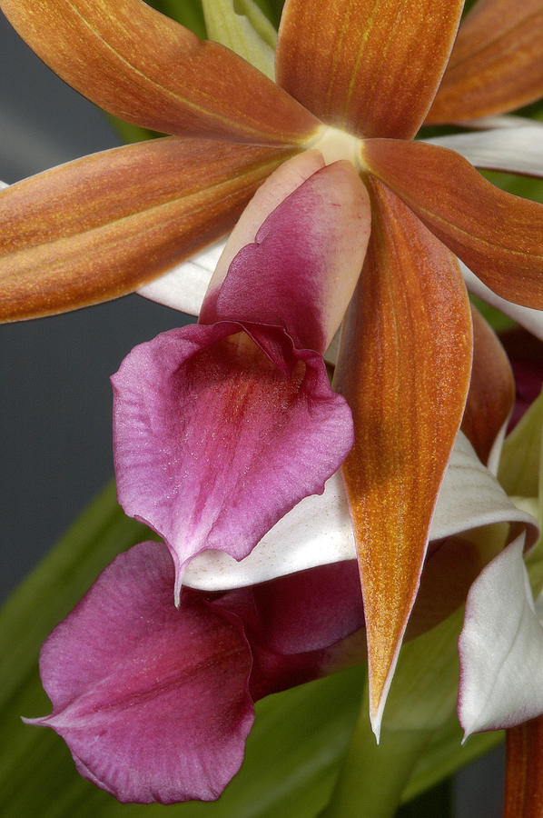 Orchid Photograph - An Orchid, Probably A Cattleya Hybrid by Stephen Sharnoff