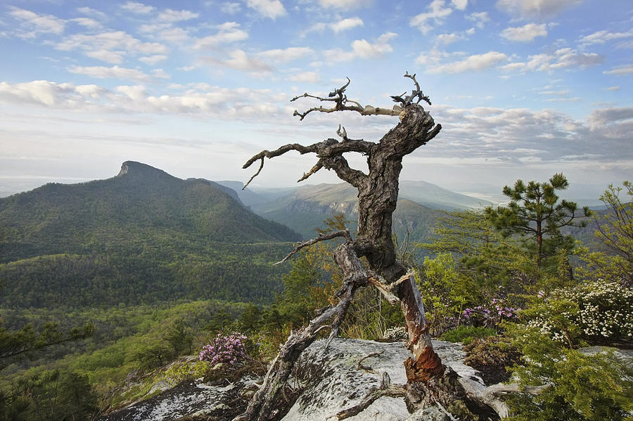 North Carolina Mountains Photograph - Ancient Pine On Hawksbill Mountain by Keith Clontz