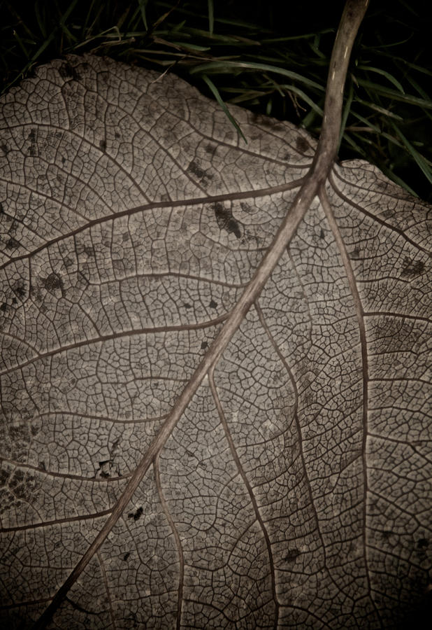 Leaf Photograph - Ancient Skin by Odd Jeppesen
