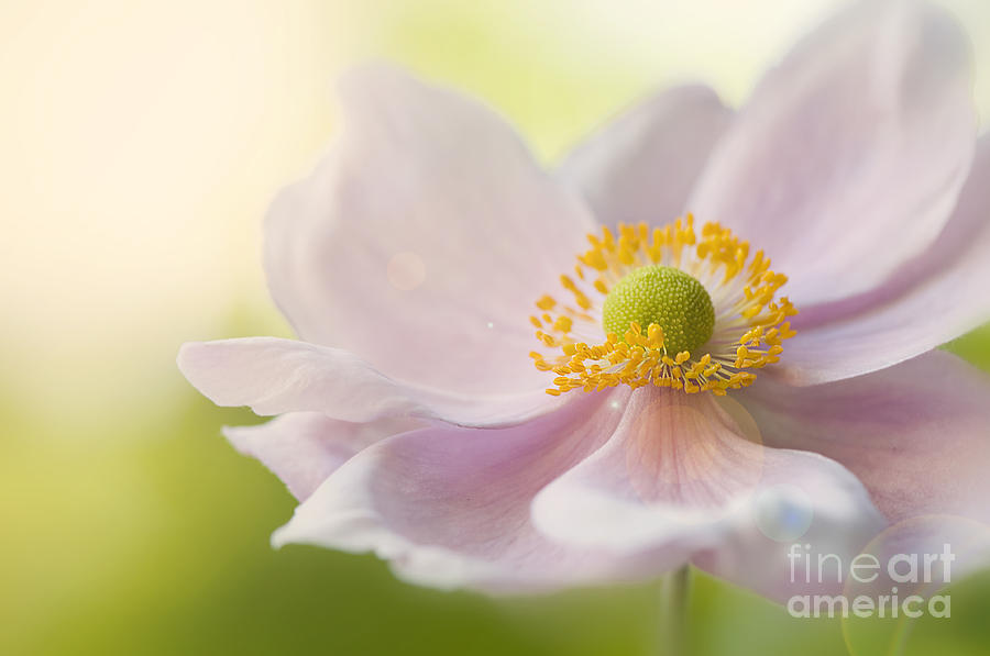 Japanese Photograph - Anemone Haze by Jacky Parker