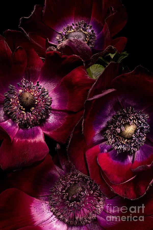Anemone Photograph - Anemones by Ann Garrett