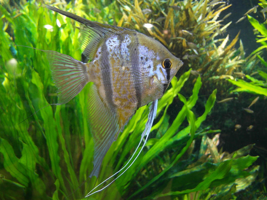 Angel Fish Photograph - Angel Fish by Tanya Moody
