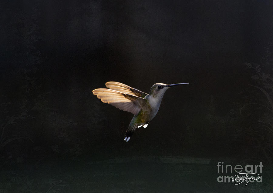 Hummingbird Photograph - Angel Wings At Sunset by Cris Hayes