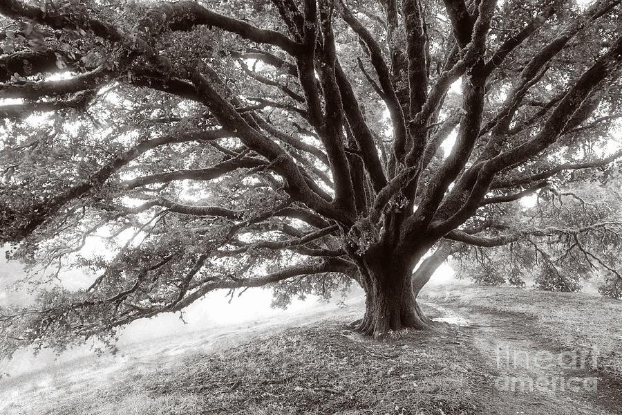 Black Photograph - Angelic Oak by Matt Tilghman