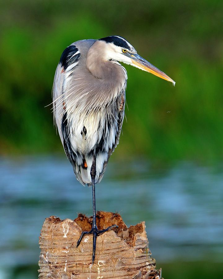 Heron Photograph - Angry Bird by Bill Dodsworth