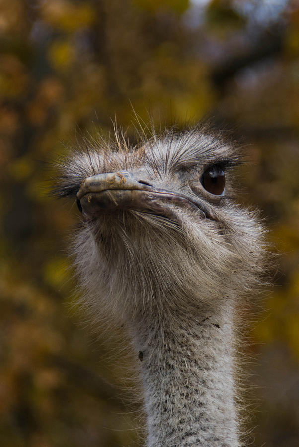 Ostrich Photograph - Angry Bird by Trish Tritz