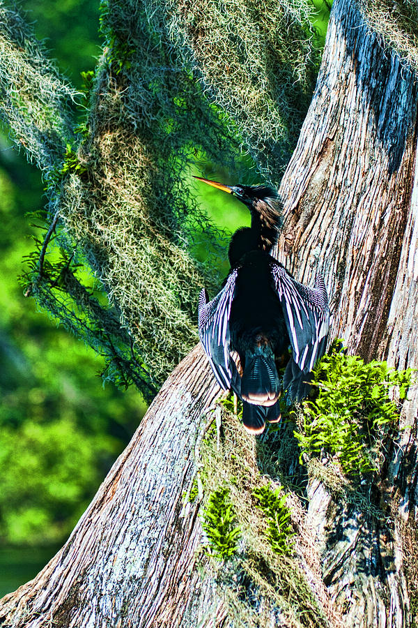 Anhinga Photograph - Anhinga On A Cyprus by Frank Feliciano