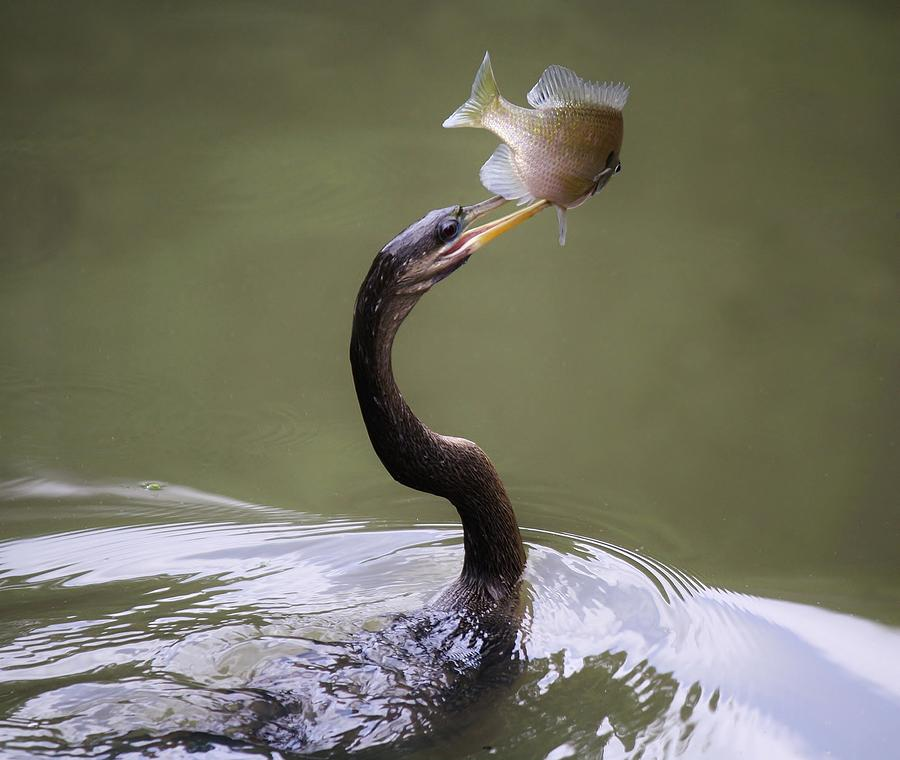 Anhinga Photograph - Anhinga With The Catch Of The Day by Paulette Thomas