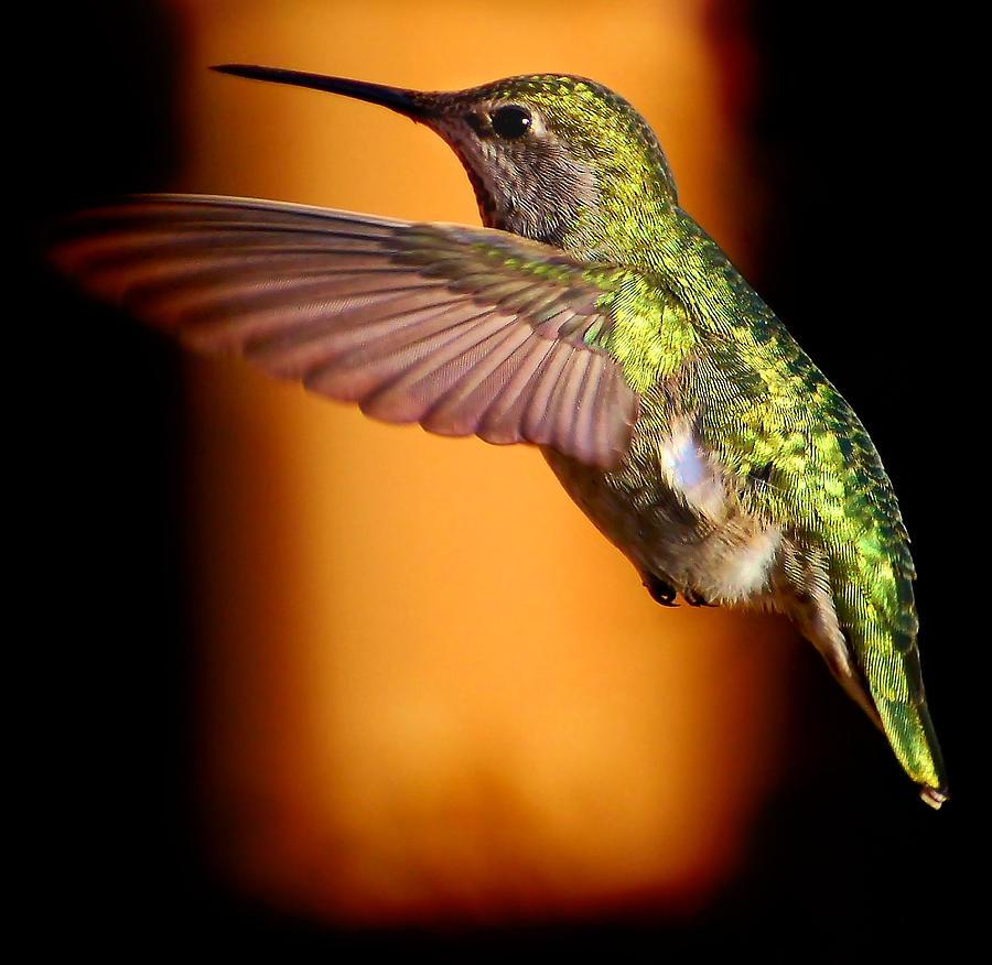 Bird Photograph - Anna by Daniel Lindquist