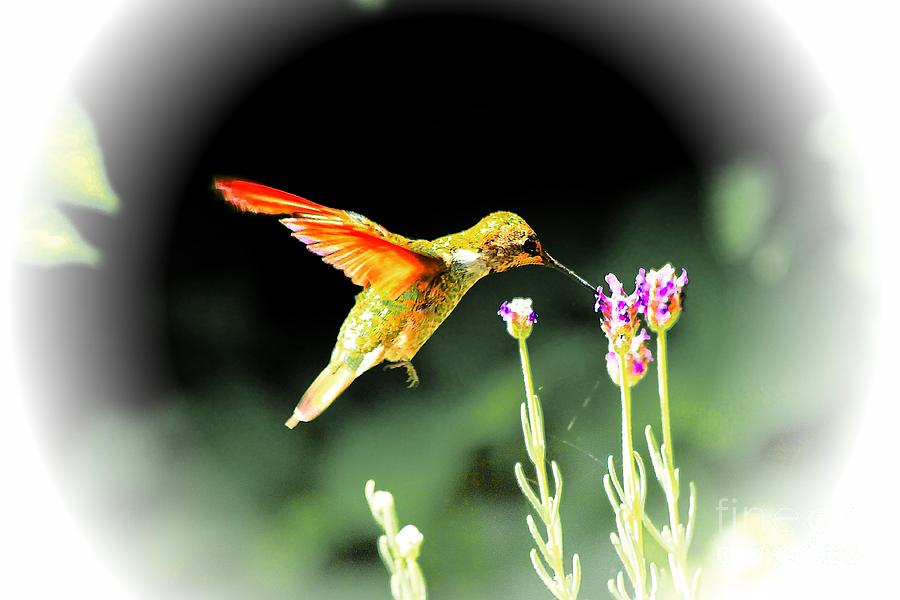 Anna Humming Bird  Photograph by Paul Baker