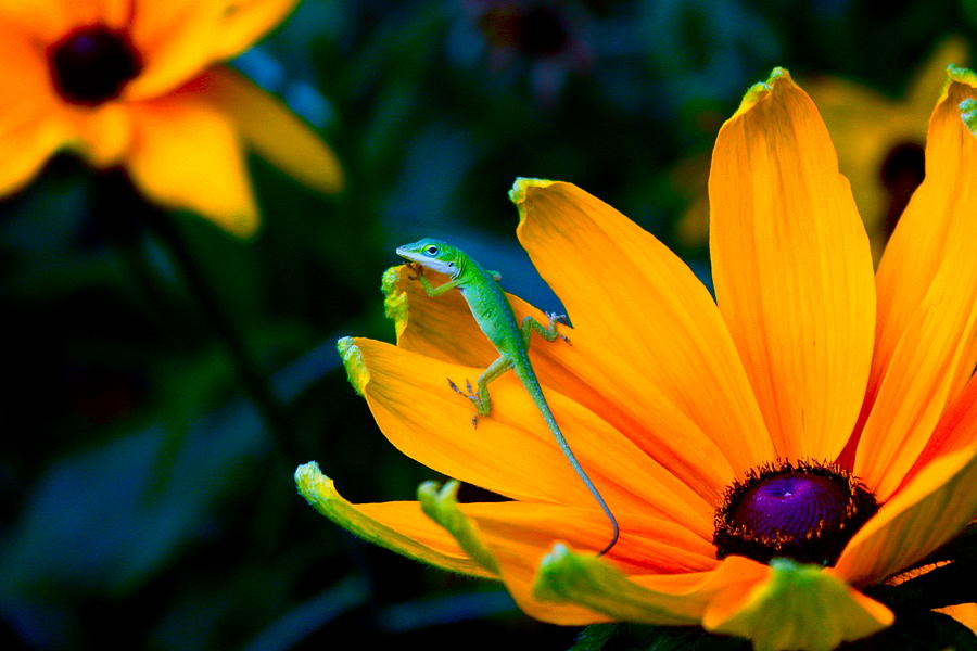 Lizard Photograph - Anole On Yellow Flower by Katherine Altman