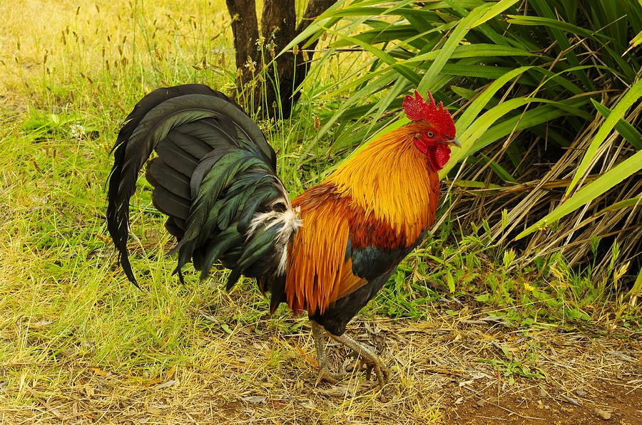 Kauai Photograph - Another Rooster by John  Greaves