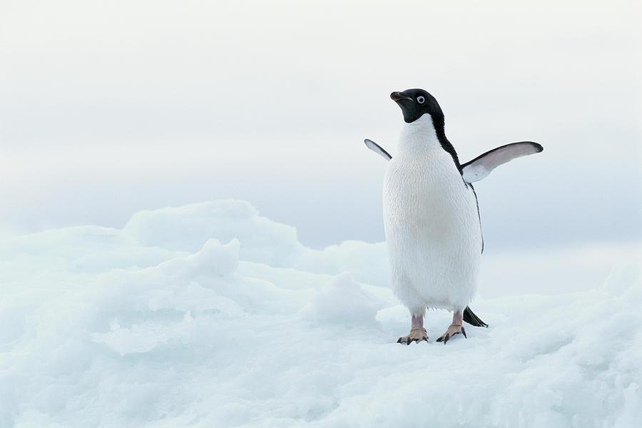 Horizontal Photograph - Antarctica, Adelie Penguin (pygoscelis Adeliae) On Iceberg by Joseph Van Os