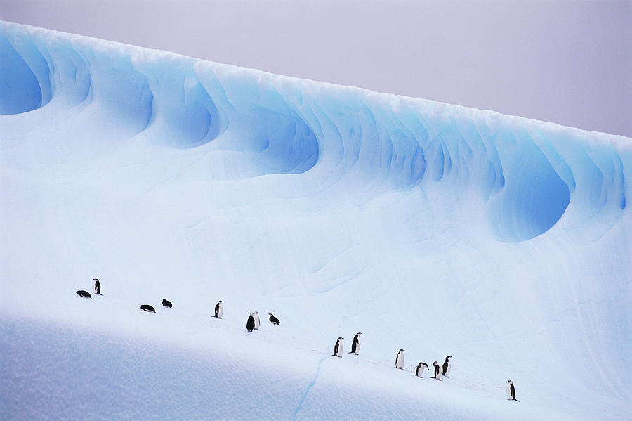 Horizontal Photograph - Antarctica, South Orkney Islands, Chinstrap Penguins On Iceberg by Kevin Schafer