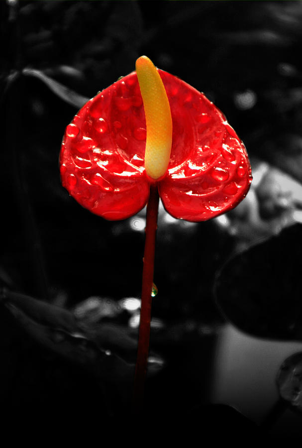 Red Photograph - Anthurium Rising by Jacqui Collett