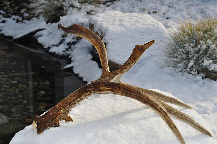 Mule Photograph - Antler 2 by Heather L Wright