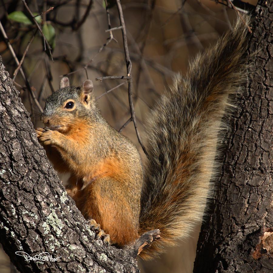 Nature Photograph - Apache Fox Squirrel by David Salter