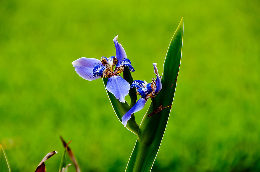 Flower Photograph - Apostle Plant by Herman Boodoo