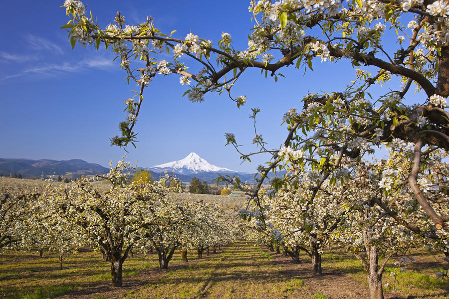 Tree Photograph - Apple Blossom Trees In Hood River by Craig Tuttle