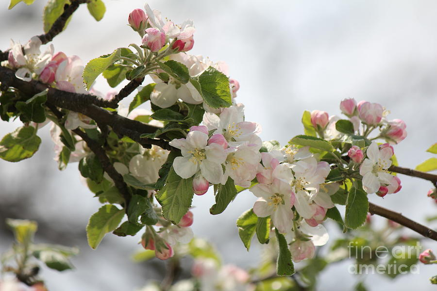 Nature Photograph - Apple Blossoms II by Scenesational Photos