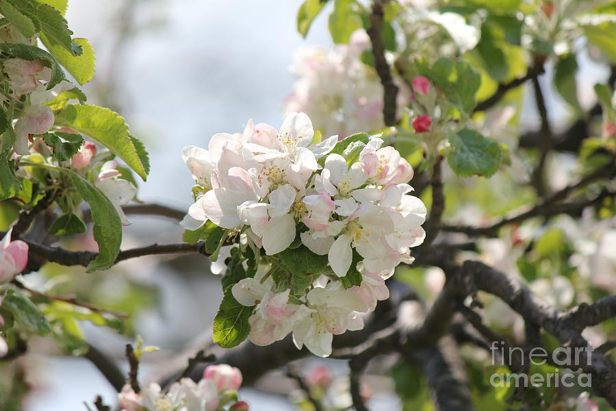 Apple Tree Photograph - Apple Blossoms by Scenesational Photos