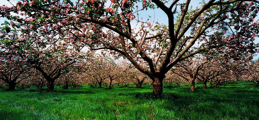 Apple Orchard Co Armagh Ireland Photograph By The Irish