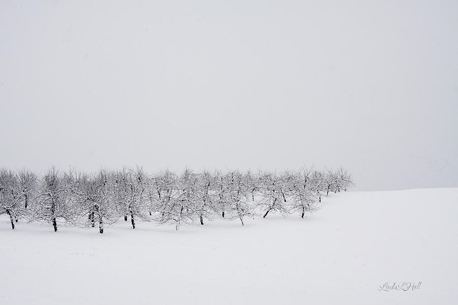 Winter Photograph - Apple Orchard in Winter by Linda Lee Hall