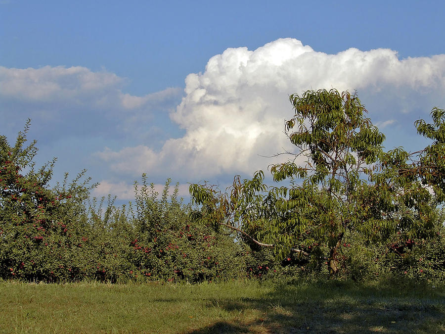 Trees Photograph - Apple Orchard by Richard Gregurich