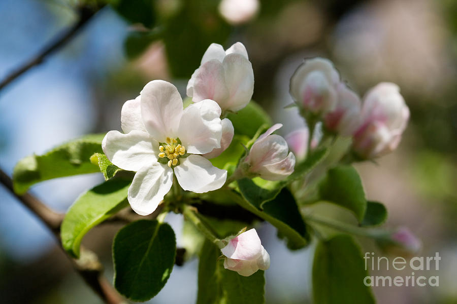 Apple Photograph - Apple Tree Flowers by Kati Finell