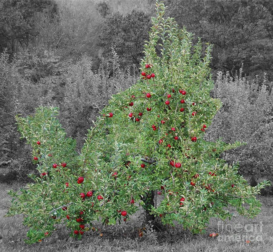 Apple Tree Photograph - Apple Tree by John Small