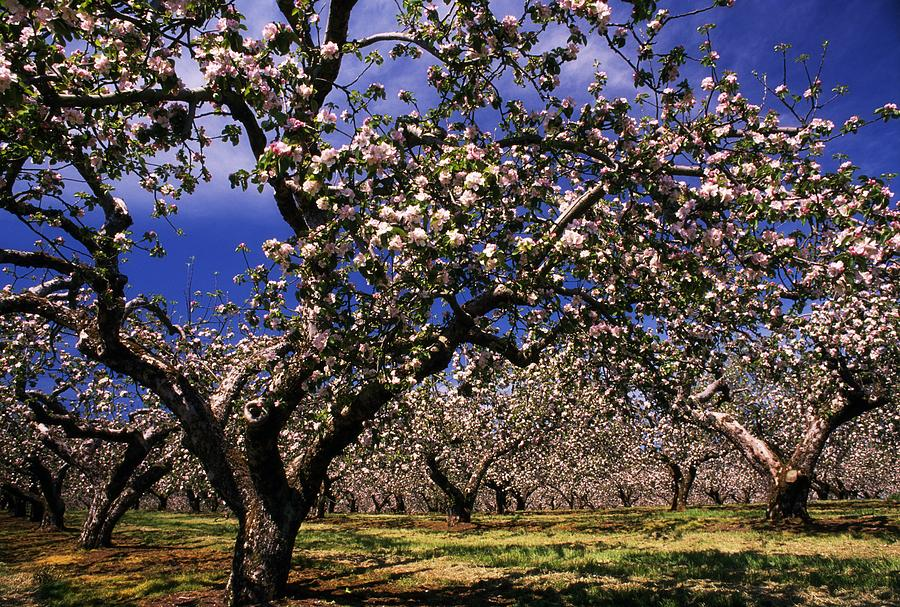 Apple Trees In An Orchard County Photograph By The Irish