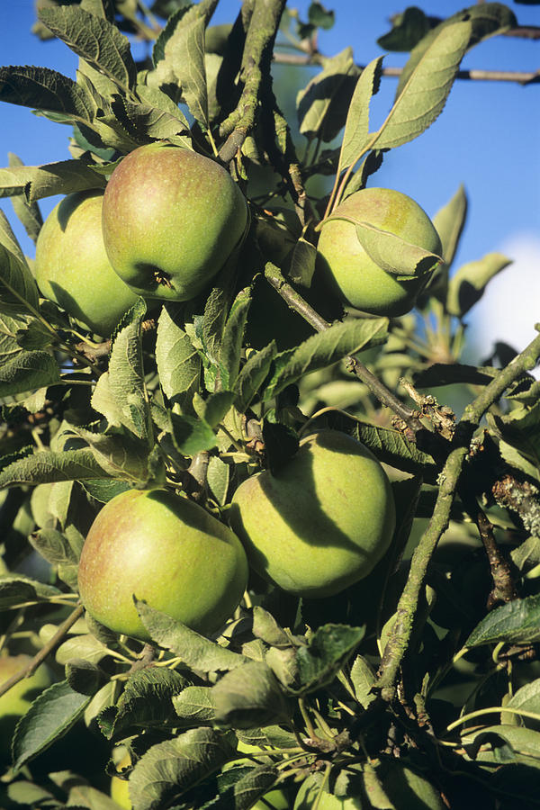 Apple Photograph - Apples Ripening On A Tree by David Aubrey